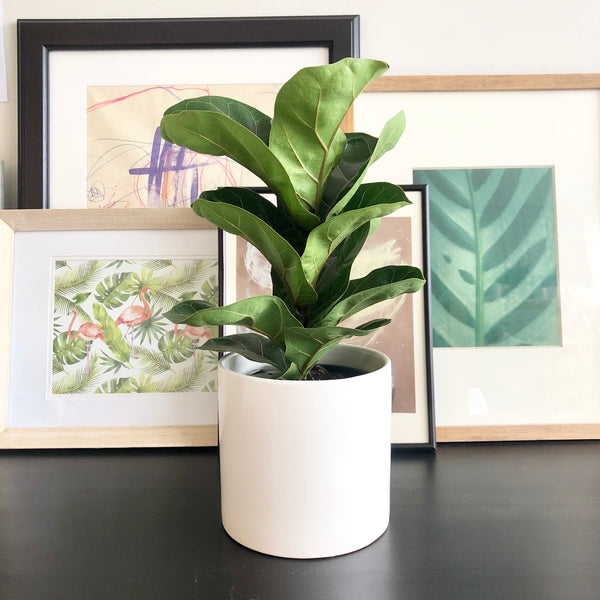 Fiddle Leaf Fig Plant in White Ceramic Planter Pot_Aloe Gal Plants & Decor