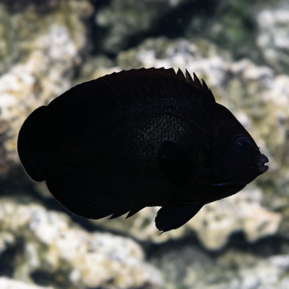 Black Nox (Midnight) Angelfish (Centropyge nox)
