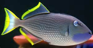 Blue (Bluejaw) Throat Triggerfish (Male) (Xanthichthys auromarginatus)