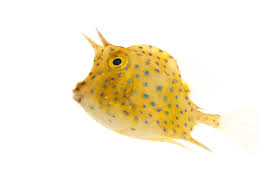 Blue Spotted Camel Cowfish (lactophrys quadricornis)