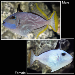 Blue (Bluejaw) Throat Triggerfish (Female) (Xanthichthys auromarginatus)
