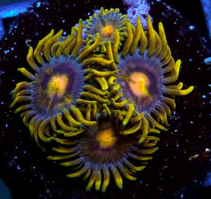 Blueberry Fields Zoanthids - Zoanthus sp.