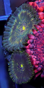 Darkwater People Eater Zoanthids - Zoanthus sp.
