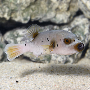 Arothron Dog Face Puffer - (Arothron nigropunctatus)