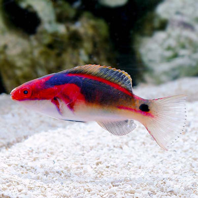 Exquisite Fairy Wrasse - (Cirrhilabrus exquisitus)