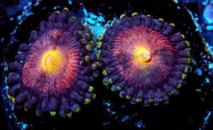 GB Sunkiss Zoanthids - Zoanthus sp.