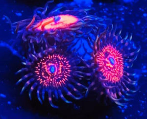 Gods of War Zoanthids - Zoanthus sp.
