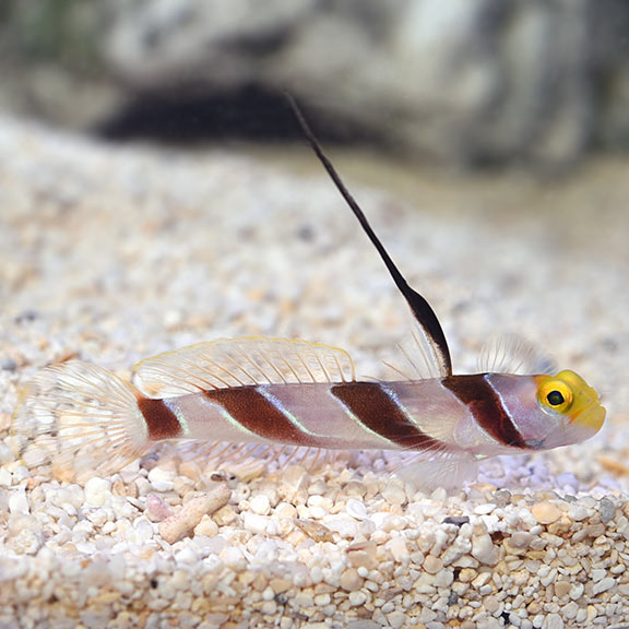 Hi Fin Red Banded Goby - (Stonogobiops nematodes)