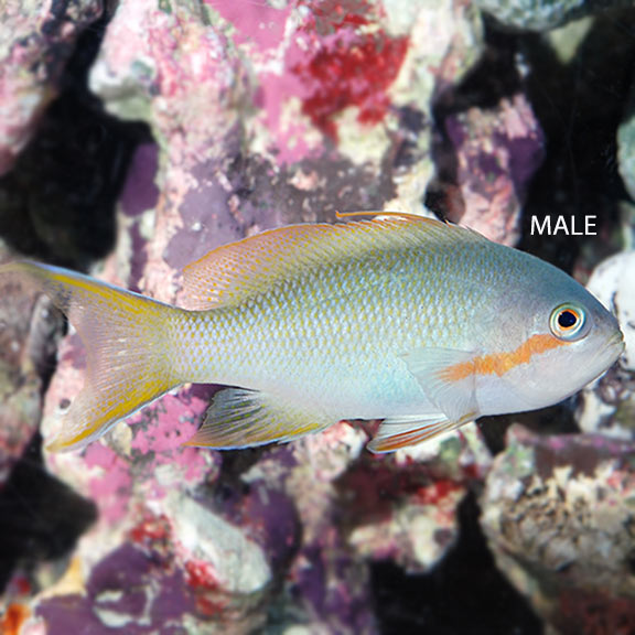 Hutchi Anthias (Male) - (Pseudanthias huchtii)