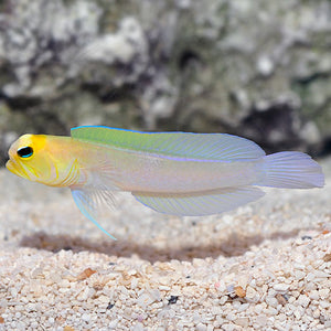 Pearly Jawfish Yellowhead  (Opistognathus aurifrons)