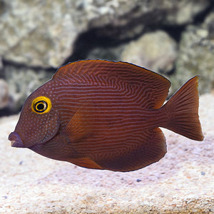 Kole Yellow Eye Tang (Ctenochaetus strigosus)
