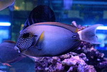 Load image into Gallery viewer, Maculiceps Tang  - Acanthurus maculiceps