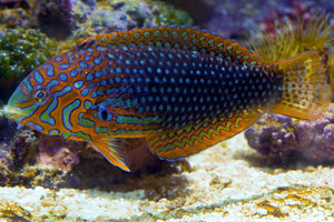 Ornate Leopard Wrasse - (Macropharyngodon ornatus)