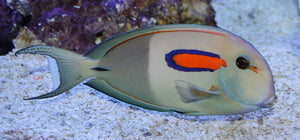 Orange Shoulder Tang - (Acanthurus olivaceus)