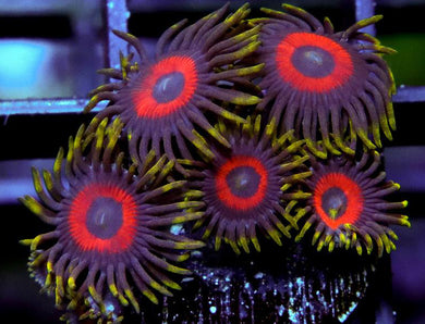 Purple Bull's Eye Zoanthids - Zoanthus sp.