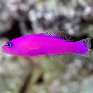 Purple (Strawberry) Dottyback  (Pseudochromis porphyreus)