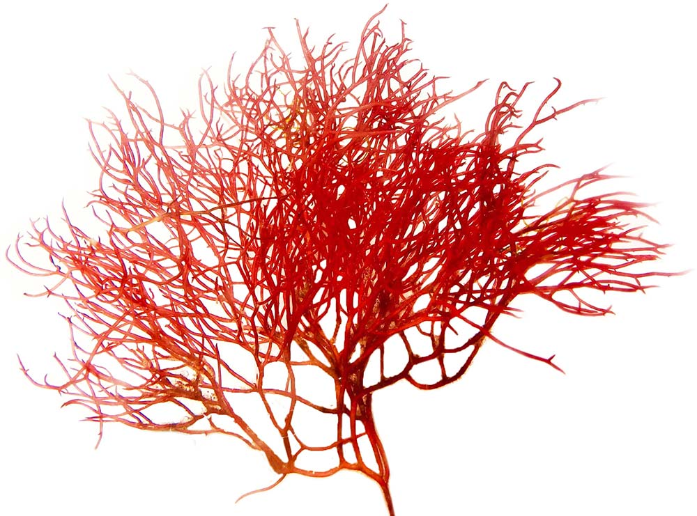 Red Gracilaria Algae, Aquacultured - (Gracilaria sp.)