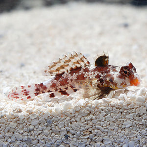 Red Scooter Dragonet (Synchiropus stellatus)