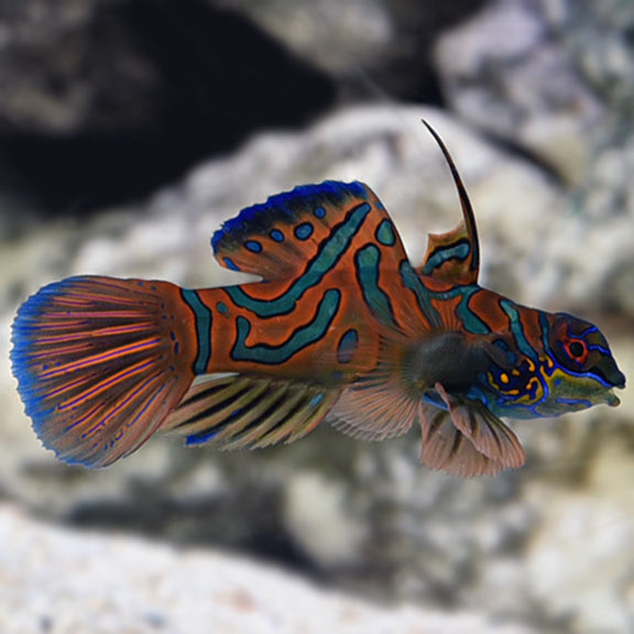 Red Mandarin Dragonet - (Synchiropus cf. splendidus)
