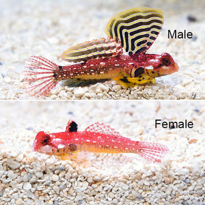 Ruby Red Dragonet  (Synchiropus sycorax)