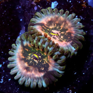 Strawberry Space Monster Zoanthids - Zoanthus sp.