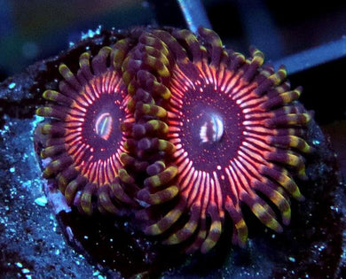 Superstar Zoanthids - Zoanthus sp.