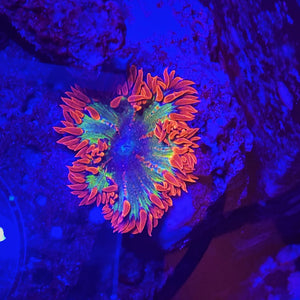 **WYSIWYG** Ultra Rock Flower Anemone - (Epicystis crucifer)