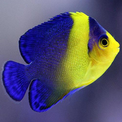 Purple Masked Angelfish (Paracentropyge venusta)