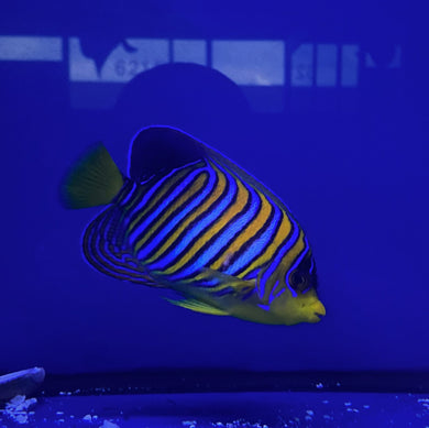 **WYSIWYG** Regal Angelfish (Yellow Belly) - (Pygoplites diacanthus)