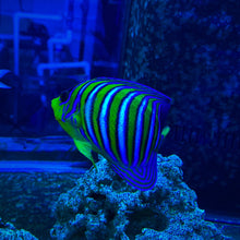 Load image into Gallery viewer, **WYSIWYG** Regal Angelfish (Yellow Belly) - (Pygoplites diacanthus)