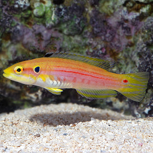 Yellow (Twinspot) Candy Hogfish  (Bodianus bimaculatus)