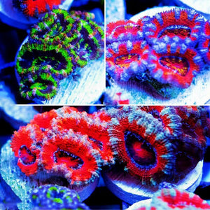 Aussie Acan Lord - Acanthastrea Lordhowensis
