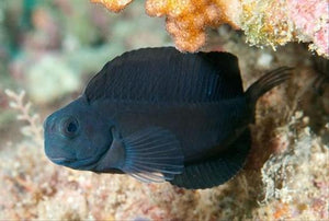 Black Sailfin Algae Blenny