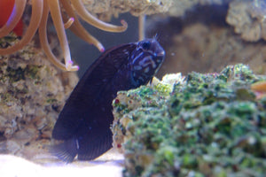 Black Combtooth Blenny (Ecsenius namiyei)