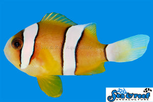 Clarkii Clownfish, Captive-Bred (Amphiprion clarkii)