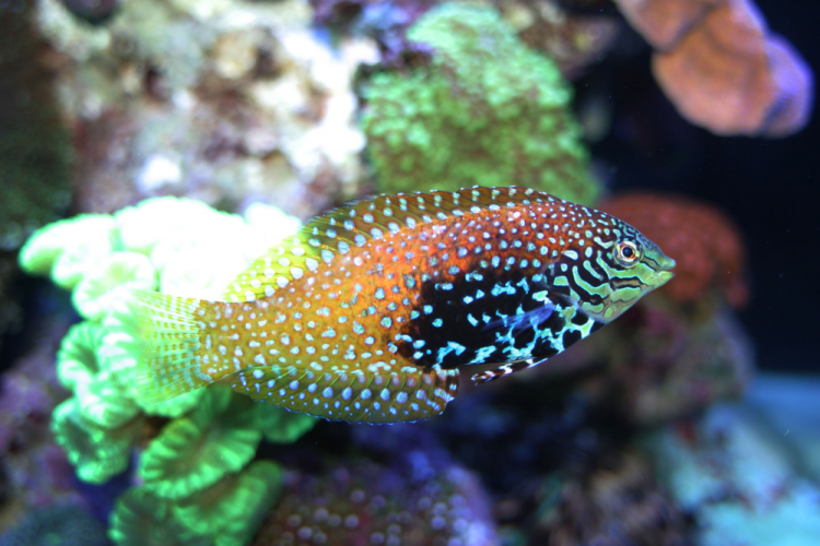 Vermiculate Blue Star (Divided) Leopard Wrasse - (Macropharyngodon bipartitus)