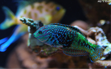 Load image into Gallery viewer, Vermiculate Blue Star (Divided) Leopard Wrasse - (Macropharyngodon bipartitus)
