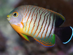 Red Stripe (Eibil's) Angelfish (Centropyge eibli)