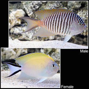 Japanese Swallowtail Spotbreast Angelfish MALE (Genicanthus melanospilos)