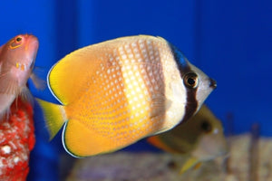 Orange (Kleins) Butterflyfish  (Chaetodon kleini)