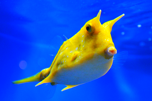 Longhorn (Long Horned) Cowfish  (Lactoria cornuta)