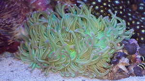 Long Tentacle Anemone ULTRA  (Macrodactyla doreensis)