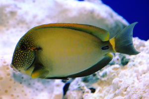 Maculiceps Tang  - Acanthurus maculiceps