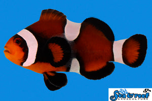 Maine Mocha Clownfish - Amphiprion ocellaris