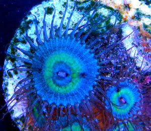 Mind Blowing Zoanthids - Zoanthus sp.