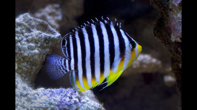 Multi-barred Angelfish  (Paracentropyge multifasciata)