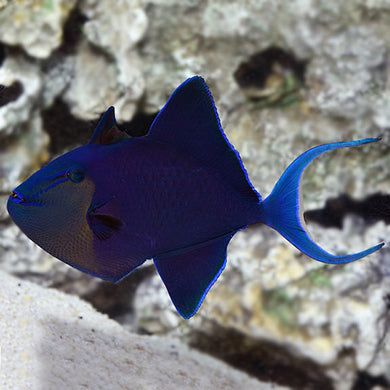 Niger Triggerfish Red Toothed  (Odonus niger)