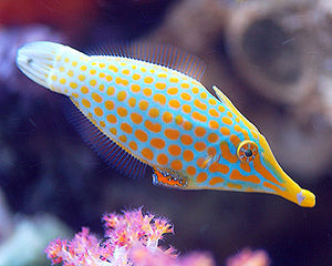 Orange Spotted Filefish (Oxymonacanthus longirostris)