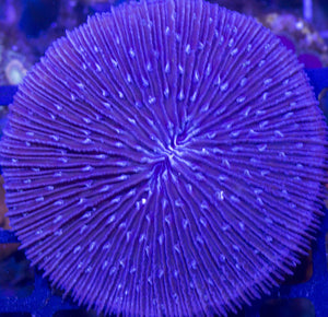 Fungia/Cycloseris Plate Coral (Purple) - Fungia sp.