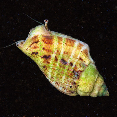 Tiger Sand Fighting Conch (Strombus spp.)